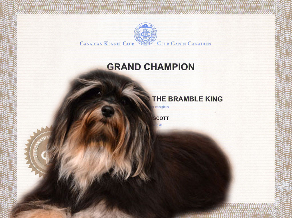 GCH Weylinmarsh The Bramble King - Havanese Male