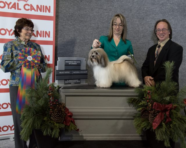 GCh Midnight's Parti Girl Of Weylinmarsh - Havanese Female