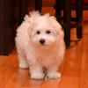 COTON DE TULEAR puppies for sale