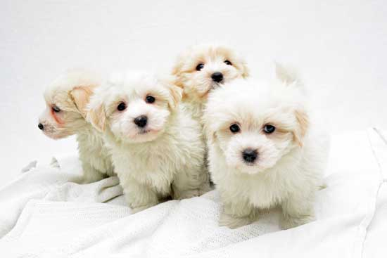 CFC Registered Coton de Tulear puppies for sale
