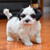 CKC Registered Purebred Havanese puppy