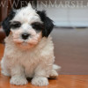 CKC Havanese Puppy for sale