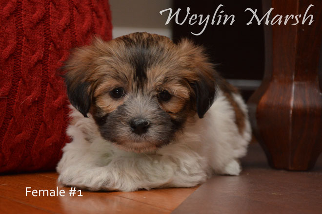 Havanese_Female_1a