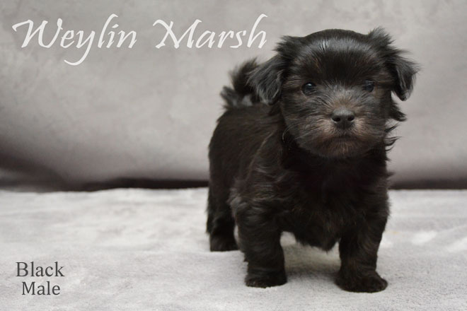 Havanese_Male_Black_1a