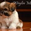 CKC Registered SHIH TZU puppies for sale