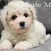 CKC Registered BICHON FRISE puppies for sale