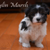 CKC Registered Purebred Havanese puppies from Champion Lines
