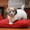 CKC Registered Purebred HAVANESE puppies