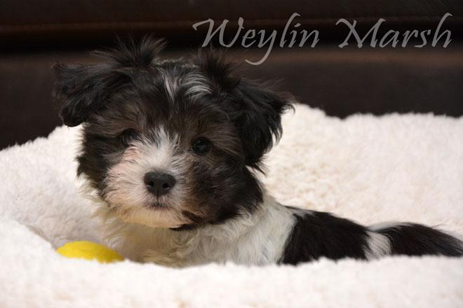 CKC Registered Purebred HAVANESE puppies for sale