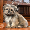 CKC Registered Purebred SHIH TZU puppy for sale