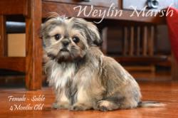 CKC Registered Purebred SHIH TZU puppy for sale