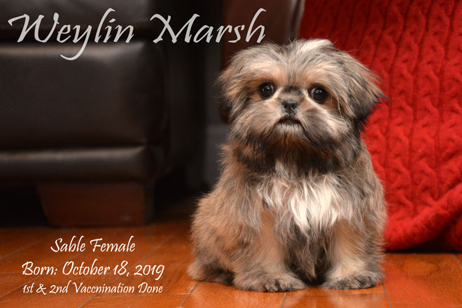 ShihTzu_Female_Sable_a