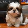 Purebred CKC Registered SHIH TZU puppies