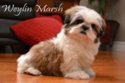 CKC Registered Purebred SHIH TZU puppies