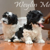 CKC Registered Purebred Havanese Puppies for Sale