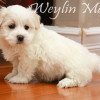 CFC Registered Purebred Coton de Tulear Puppies for Sale