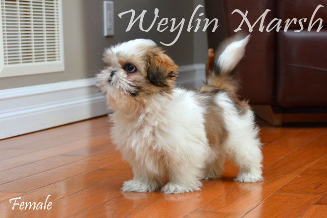 ShihTzu_Female_a