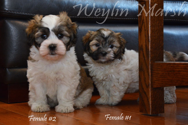 Havanese_Female#1&2_b