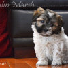 CKC Registered Havanese puppies for sale