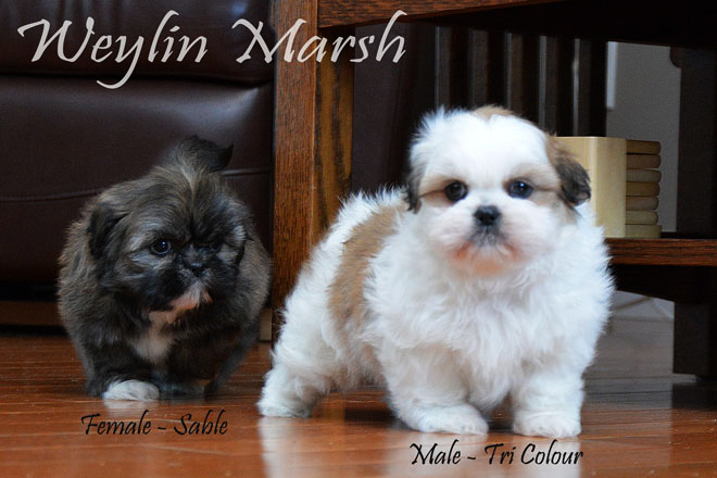 ShihTzu_Male_Tri_&Female_Sable