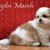 CKC Registered SHIH TZU puppies for sale