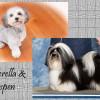 Cinderella & Aspen - CKC Registered Purebred Havanese