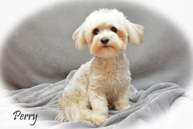 CKC Registered Purebred HAVANESE puppies to be born