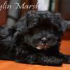Purebred CKC Havanese puppy for sale