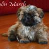 CKC Registered Purebred Shih Tzu puppies for sale