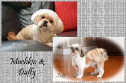 CKC Registered SHIH TZU puppies