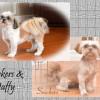CKC Registered Shih Tzu dogs