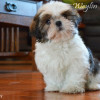 CKC Registered Purebred Shih Tzu puppy