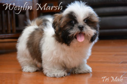 CKC Registered Purebed Shih Tzu puppy