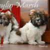 CKC Registered Purebred Havanese puppi