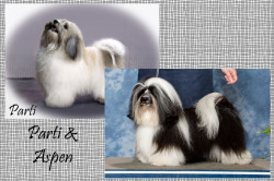 CKC Registered Champion Purebred Havanese