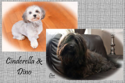 CKC Registered Purebred Havanese dogs