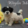 CKC Registered Champion Purebred Havanese puppies for sale