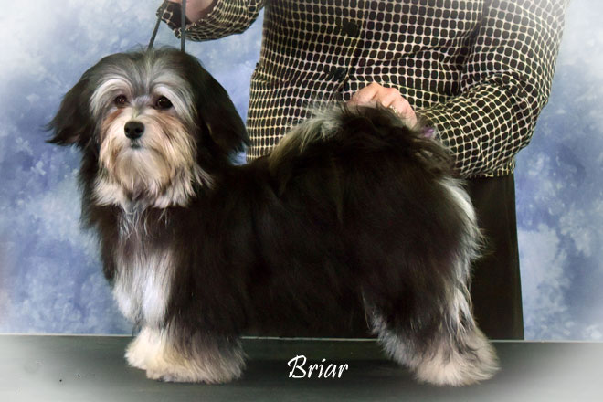 CH WeylinMarsh Bramble Sweetbriar - call name Briar