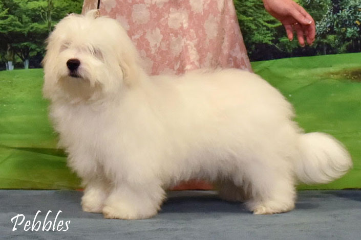 CH WeylinMarsh's Frosted Pebbles - call name Pebbles