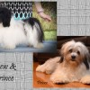 CKC Registered Purebred Havanese puppies